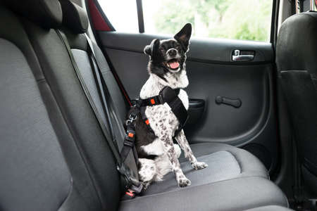 Photo for Dog With Sticking Out Tongue Sitting In A Car Seat - Royalty Free Image