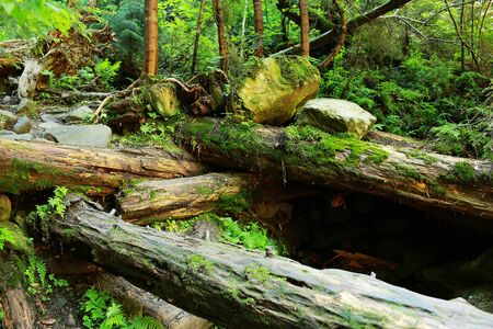 Photo for fallen trees in the woods covered with moss. The moss covered rocks and fallen trees an ancient woodland. - Royalty Free Image