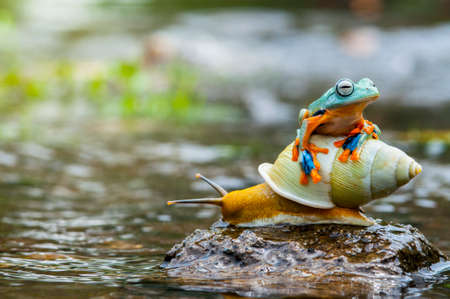Photo pour flying frog, frog, tree frog,  frog above the snail, - image libre de droit