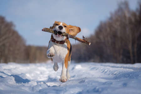 Photo pour Beagle dog runs and plays in the winter forest on a Sunny frosty day - image libre de droit