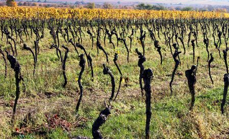 Photo for Old gnarled grapevines in autumn - Royalty Free Image