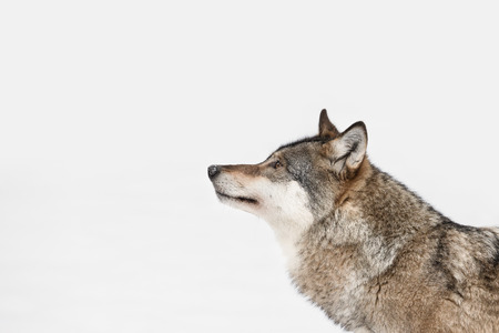Photo pour A profile of a Grey Wolf looking into the distance because its attention has been caught by movement on some higher ground to the left of frame. - image libre de droit