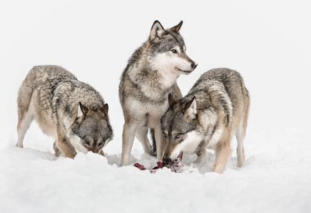 Foto de Three Grey Wolves, two are feeding on scraps of meat but one has its attention focused on something outside frame right. - Imagen libre de derechos