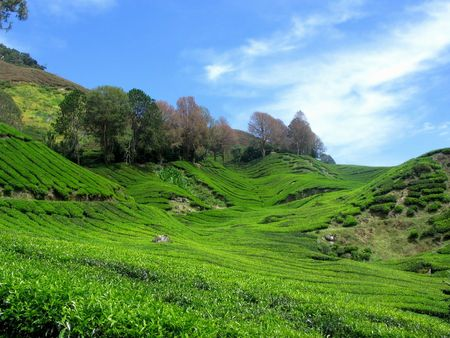 Beauty Nature Tea Mountain