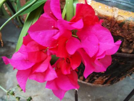 Foto de Magenta flower in the garden - Imagen libre de derechos