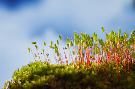 Photo pour Macro of bryum moss (Pohlia nutans) with green spore capsules over blue cloudy sky background - image libre de droit