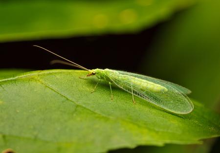 Foto de Low angle macro view of lacewing or golden-eyed fly(Chrysopidae, Chrysopa sp.) on green leaf - Imagen libre de derechos