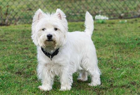 Photo pour West Highland White Terrier in the garden - image libre de droit