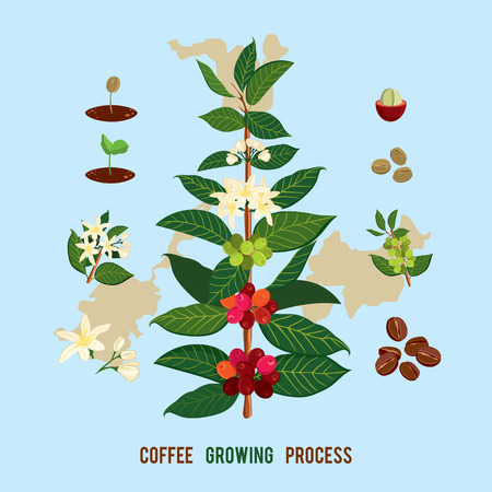 Ilustración de Beautiful and colorful botanical illustration of a coffee plant and tree. The Coffee Tree, Showing Details of Flowers and Fruit. Vector illustration Coffe arabica - Imagen libre de derechos