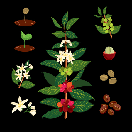 Illustration for Beautiful and colorful botanical illustration of a coffee plant and tree. The Coffee Tree, Showing Details of Flowers and Fruit. Vector illustration Coffe arabica - Royalty Free Image