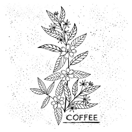 Illustration for Coffee branch. Plant with leaf, flowers, berry, fruit, seed. Natural caffeine drink. Hand-drawn vector illustration for shop and poster design - Royalty Free Image