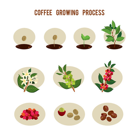 Ilustración de Plant seed germination stages. Process of planting and growing a coffee tree. Coffee tree cultivation in stages. Vector illustration - Imagen libre de derechos