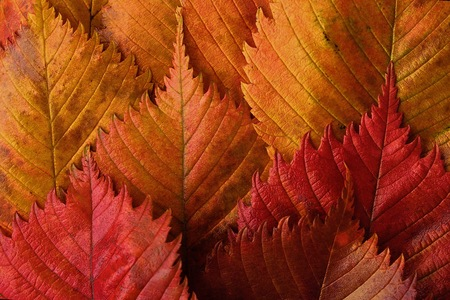 Photo for Bright yellow and red autumn leaves beautiful - Royalty Free Image