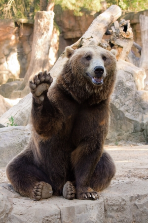 Photo pour Friendly brown bear sitting and waving a paw in the zoo - image libre de droit