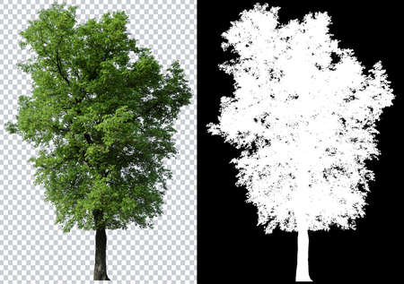 Photo for single tree on transparent picture background with clipping path, single tree with clipping path and alpha channel on black background - Royalty Free Image