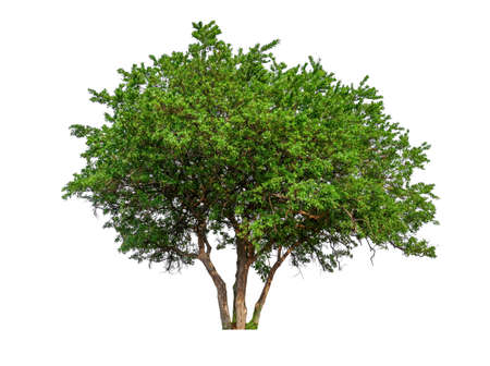 Photo for single tree with clipping path and alpha channel - Royalty Free Image