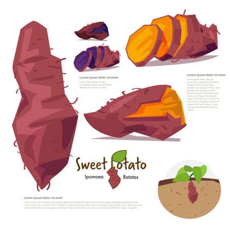 Ilustración de sweet potatp. information graphic - vector illustration - Imagen libre de derechos