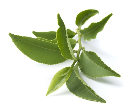 Isolated branch of fresh green tea