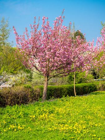 Photo pour Cherry blossom with spring meadow - image libre de droit