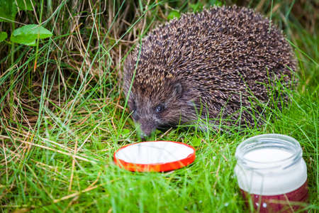 Photo pour close-up small hedgehog in green grass drinking milk - image libre de droit