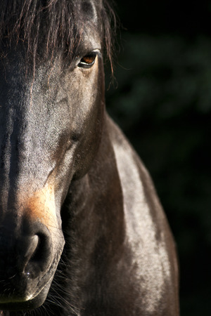 Photo pour Horse face close up - image libre de droit