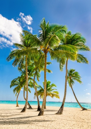 Photo for Exotic high palm trees, wild beach azure waters, Caribbean Sea, Dominican - Royalty Free Image