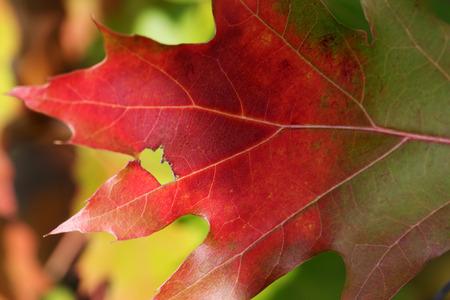 Foto de Part of multicolor oak leaf (northern red oak) in autumn forest at nice sunny day. Close-up view. - Imagen libre de derechos