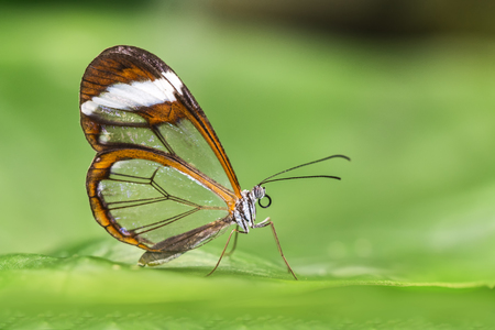 Foto de Greta oto, transparent winged butterfly resting on a green leaf disposing her eggs in a butterflies farm - Imagen libre de derechos