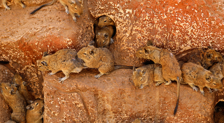 Photo for Rats on wood in cell. Many rodent - Royalty Free Image