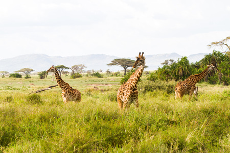Photo pour The giraffe (Giraffa), genus of African even-toed ungulate mammals, the tallest living terrestrial animals and the largest ruminants, part the Big Five game animals in Serengeti, Tanzania - image libre de droit