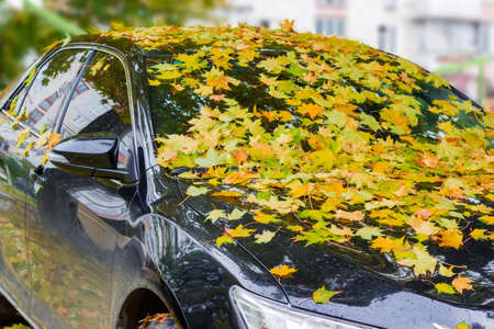 Fragment of the front right-hand side of the black car, covered with wet adhered fallen leaves of maple and drops of rain autumn