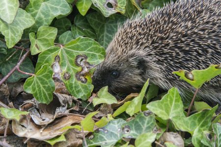 A young hedgehog searching for food around a garden in England