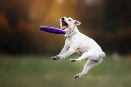 Photo for Dog catching frisbee in jump, pet playing outdoors in a park. flying disk - Royalty Free Image