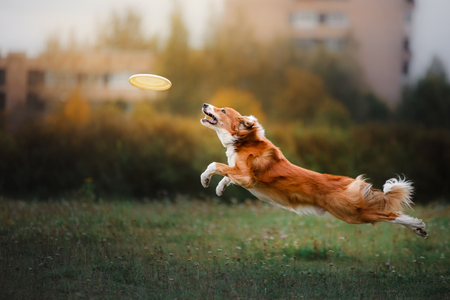 Photo pour Dog catching frisbee in jump, pet playing outdoors in a park. flying disk - image libre de droit