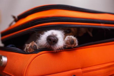 Photo pour Dog Jack Russell Terrier sitting in a suitcase - image libre de droit