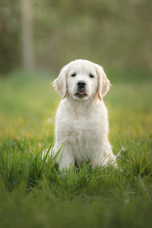 Photo pour Golden Retriever puppy runs on grass and plays. Pet in the park in summer - image libre de droit