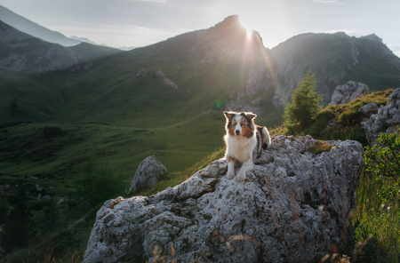 Foto de A dog in the mountains is standing on a rock and looking at nature. Travel with a pet. Happy Australian Shepherd. Healthy lifestyle, adventure - Imagen libre de derechos