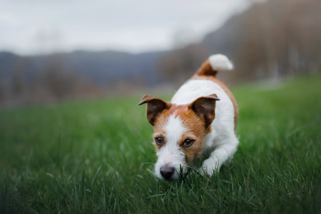 Photo for the dog runs in the grass. Pet plays in nature. Jack Russell Terrier. - Royalty Free Image