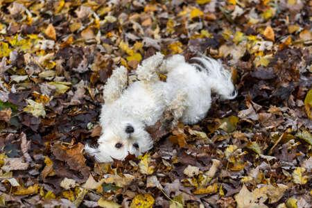 Foto de Cute small white dog rolling in mud and fall leaves - Imagen libre de derechos