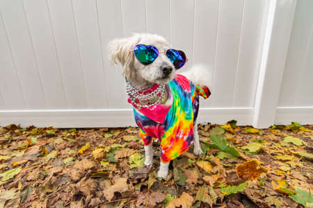 Foto de Dog dressed up like a hippie. Wearing tye dye shirt, necklace and sunglasses. - Imagen libre de derechos