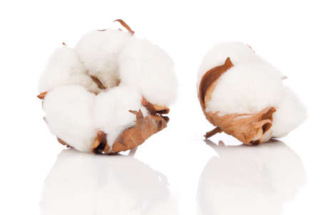 Foto de Cotton soft plant with reflection - Imagen libre de derechos