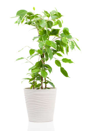Photo for Ficus benjamina in flowerpot isolated on white background. - Royalty Free Image
