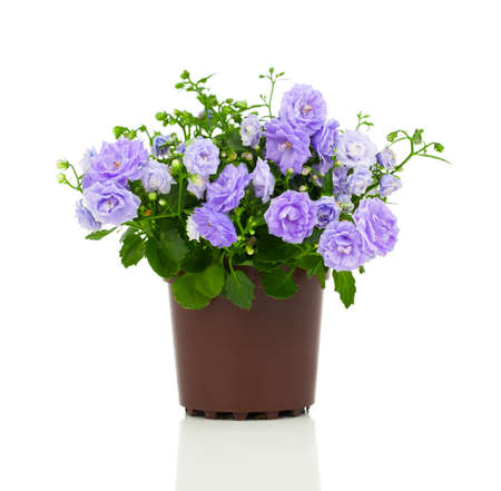 Photo pour blue Campanula terry flowers, on a white background. - image libre de droit