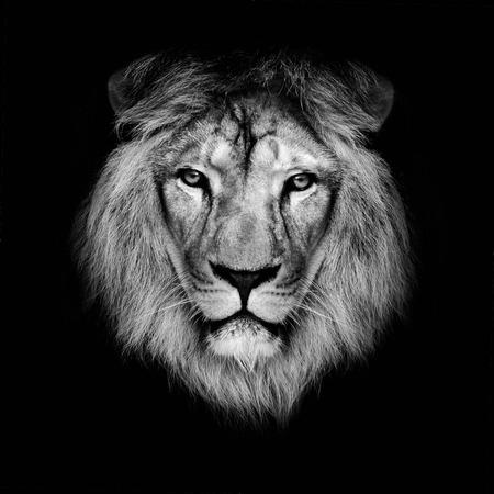 Photo pour Beautiful lion on a black background  - image libre de droit