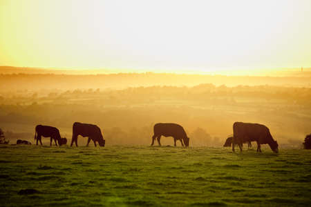 Backlit cattle grazing in a field at sunset