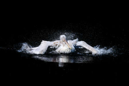 Photo for Pelican with flapping wings and blue drops of water swimming in deep black sea, wildlife - Royalty Free Image