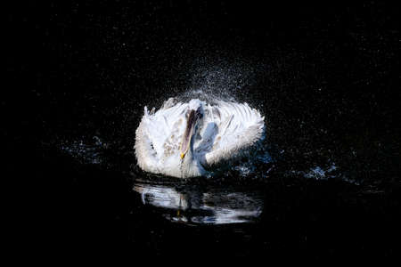 Photo for Big white pelican with flapping wings and drops of water - Royalty Free Image