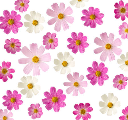 Photo for floral background  pink flowers isolated on a white background  Cosmea - Royalty Free Image