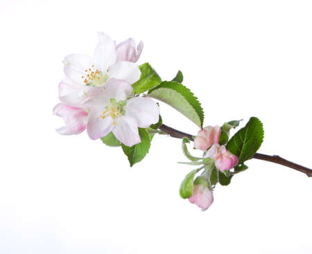 Photo pour Closeup of blooming apple twig  isolated on white. Focus on near flower. - image libre de droit
