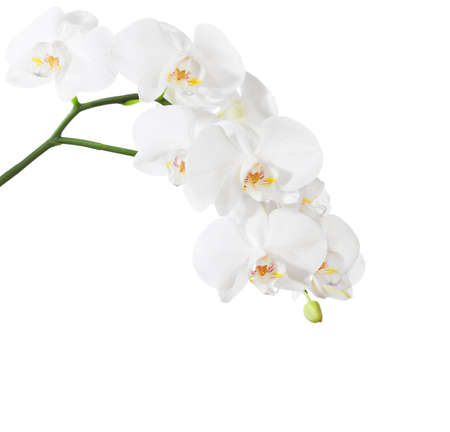 Photo pour White orchid isolated on white background. - image libre de droit